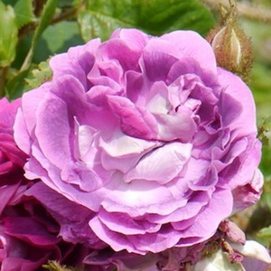 William Lobb - purple - moss rose