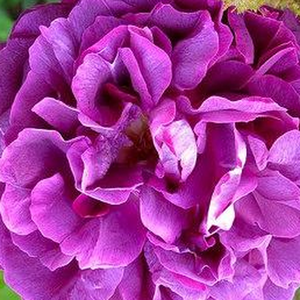 Buy Roses Online - Purple - moss rose - intensive fragrance -  William Lobb - Jean Laffay - Due to its powerful growing run it to pergola or fence.