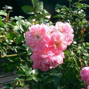 rosa ramblerrosen mittel stark duftend rosa souvenir de j mermet rosen online kaufen. Black Bedroom Furniture Sets. Home Design Ideas