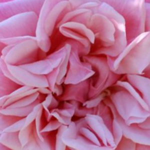 Rose Shopping Online - Pink - rambler, rose - moderately intensive fragrance - Souvenir de J. Mermet - Louis Mermet - We can grow it to trees or pillars without interference.