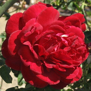 Deep red - climber rose