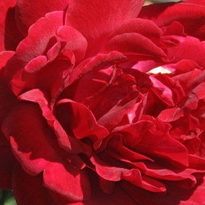 Roses Online - Thor - climber rose - red - discrete fragrance - Michael Henry Horvath - It is a full-doubled, intense red coloured climbing rose.