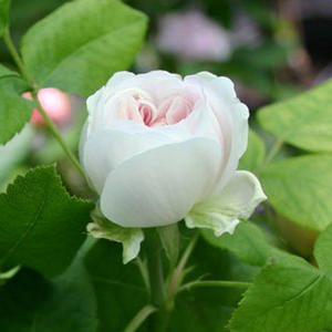 White Jacques Cartier - bianco - Rose Ibridi Perenni