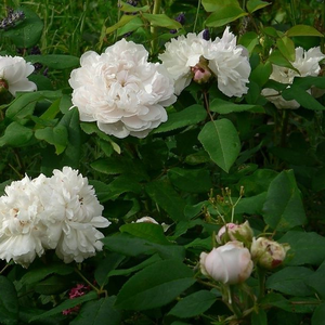 White cream colour - hybrid perpetual
