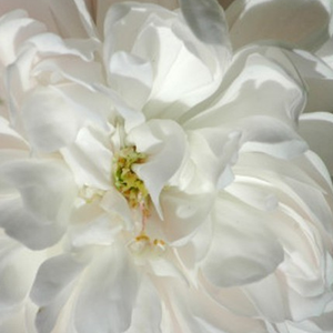 Buy Roses Online - White - hybrid perpetual - intensive fragrance -  White Jacques Cartier - Knud Pedersen - It has old fashioned bloom form, creamy coloured, spicy scented flowers. Shade tolerant variety.