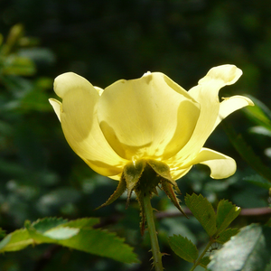 Rosa Harisonii - yellow - old garden roses