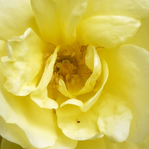 Rose Shopping Online - Yellow - old garden roses - discrete fragrance - Rosa Harisonii - George Folliott Harison - It can be grown as a large shrub. Its brown shoots are arching and they are covered with semi-doubled flowers.