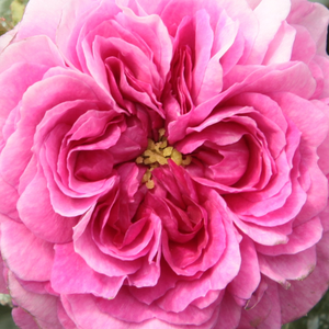 Buy Roses Online - Purple - old garden roses - intensive fragrance -  Himmelsauge - Rudolf Geschwind - We can admire its once, but abundant flowering in the spring or summer.