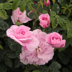 Ispahan - pink - damask rose
