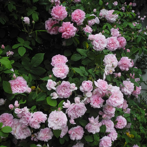Rosa - Rose Damascene