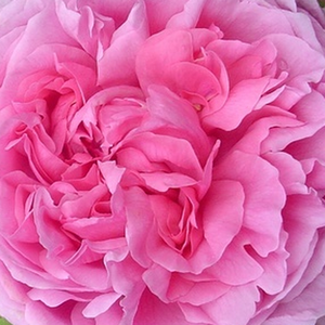 Roses Online - Madame Boll - portland rose - pink - intensive fragrance - Daniel Boll - Its full-doubled, deep pink, rose-colored petals are very fragrant.