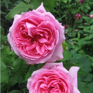 Light pink with darker center - portland rose