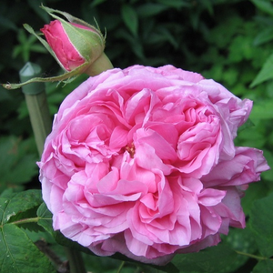 The full doubled, fragrant flowers are light pink with darker center.