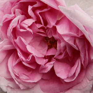 Buy Roses Online - Pink - portland rose - intensive fragrance - Madame Knorr - Victor Verdier - The full doubled, fragrant flowers are light pink with darker center.