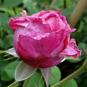 Between the once blooming rambler roses it is a weaker growing variety. It can be use to growing on columns and fances.