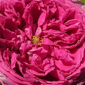 Roses Online Delivery - old garden roses - pink - Aurelia Liffa - discrete fragrance - Rudolf Geschwind - Between the once blooming rambler roses it is a weaker growing variety. It can be use to growing on columns and fances.