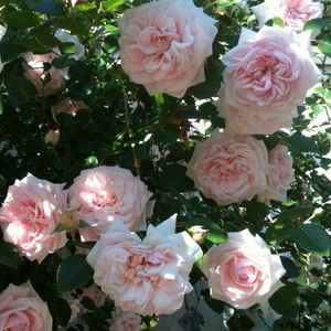 Light pink, pink salmon - climber rose