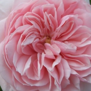 Height: 8-13,9 ft - Number of petals: 26-40