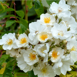 Its small, semi-doubled, creamy coloured flowers are blooming in large clusters.