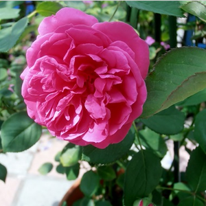 Pink mixture - china rose