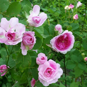 Dark pink with withe winds - old garden roses