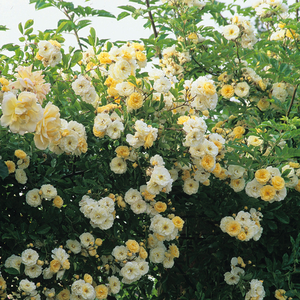 Goldfinch - white - old garden roses