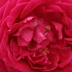 Buy Roses Online - Red - china rose - intensive fragrance - Gruss an Teplitz - Rudolf Geschwind - It has upright growing habit. It cam be use for decorating flower beds, but also for hedges. Its beautiful and fragrant flowers are also perfect for cut flowers.