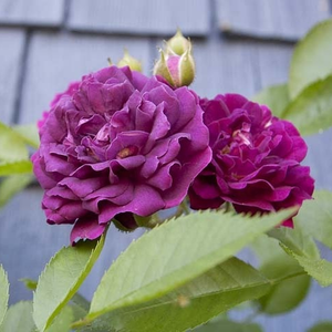 Bleu Magenta - purple - rambler, rose