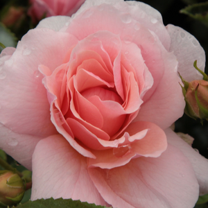Chewgentpeach - pink - bed and borders rose - grandiflora - floribunda