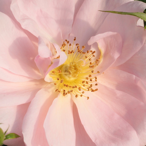 Buy Roses Online - Pink - bed and borders rose - grandiflora - floribunda - no fragrance - Chewgentpeach - Christopher H. Warner - Peachy, discreet scent floribunda rose. Its flower color is highlighted by light yellow, brownish orange and bronze color foliage or flowers.