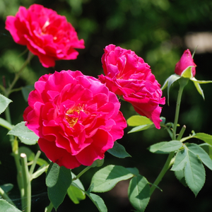 Red - bed and borders rose - floribunda