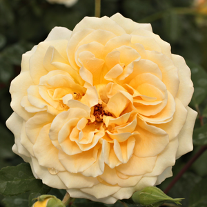 Golden-yellow, pink edges - bed and borders rose - floribunda
