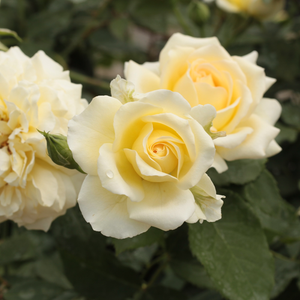 Rivedoux-plage - yellow - bed and borders rose - floribunda