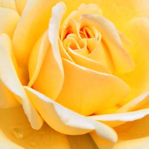 Buy Roses Online - Yellow - bed and borders rose - floribunda - no fragrance - Rivedoux-plage - Dominique Massad - -