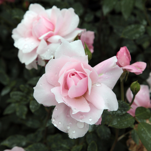 Light pink - english rose