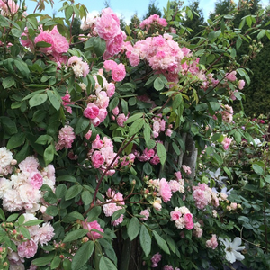 Light pink - climber rose