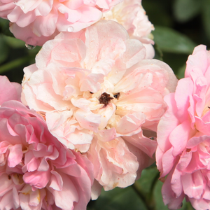 Buy Roses Online - Pink - climber rose - discrete fragrance - Belle de Sardaigne - Dominique Massad - Light pink coloured, repeat blooming climber rose with small flowers.
