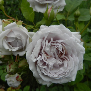 Light purple - nostalgia rose