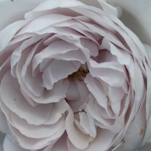 Roses Online - Griselis - nostalgia rose - purple - discrete fragrance - Dominique Massad - In order to keep its flower color during the blooming period it is advisable to plant it in a semi-shady place.