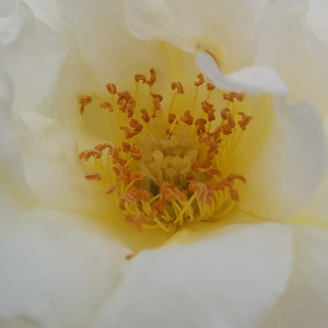 Rose Shopping Online - bed and borders rose - floribunda - white - Irène Frain - discrete fragrance - Dominique Massad - Smaller (60cm) shrubs are beautifully displayed in the middle ranks of border beds.