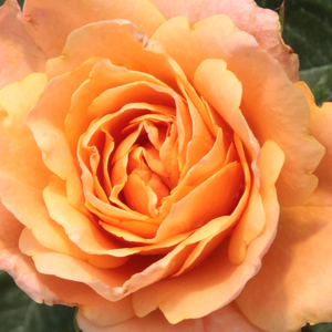 Rose Shopping Online - Orange - miniature rose - no fragrance - Apricot Clementine® - Hans Jürgen Evers - -