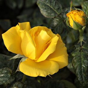 Rosa Golden Wedding - jaune - rosiers floribunda