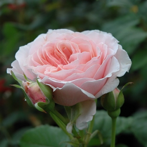 Louise De Marillac - pink - bed and borders rose - floribunda
