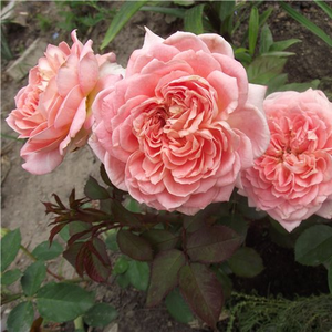 Middlepink - bed and borders rose - floribunda