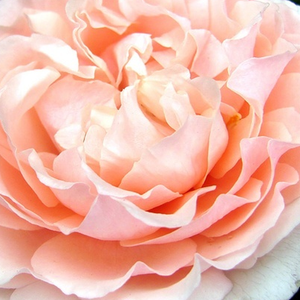 Buy Roses Online - Pink - bed and borders rose - floribunda - no fragrance - Louise De Marillac - Dominique Massad - Pink floribunda with flower form of old roses.