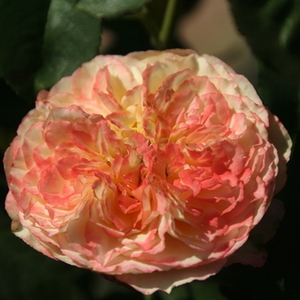 Ros'Odile - yellow - pink - bed and borders rose - grandiflora - floribunda