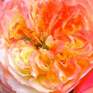 Rose Shopping Online - Yellow - Pink - bed and borders rose - grandiflora - floribunda - discrete fragrance - Ros'Odile - Dominique Massad - -