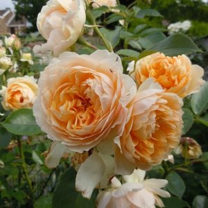 Reblooming rose with strong tea rose fragrance. It has full doubled, cluster flowered with orange shades of yellow roses.