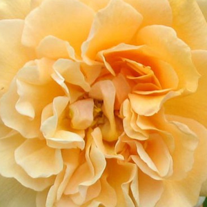 Roses Online Delivery - park rose - yellow - Buff Beauty - intensive fragrance - Bentall - Reblooming rose with strong tea rose fragrance. It has full doubled, cluster flowered with orange shades of yellow roses.