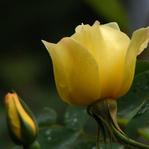 Golden Wings - yellow - wild rose